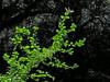 <em>Holodiscus discolor var. discolor</em>, Ocean Spray, Cream Bush, native.  <em>Rosaceae</em> (Rose family). Edgewood County Park, San Mateo Co., CA, 2014/06/05, jm2p1180