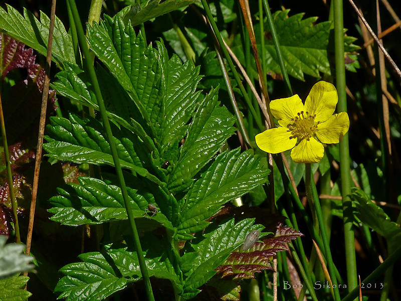 <em>Potentilla anserina ssp. pacifica</em>, Cinquefoil; Pacific Potentilla, native.  <em>Rosaceae</em> (Rose family). Millerton Point, Tomales Bay State Park, Marin Co., CA, 2013/06/22, jm2p1162