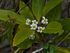 <em>Pittosporum undulatum</em>, Victorian Box, Mock Orange, Australia.  Invasive.  <em>Pittosporaceae</em>  (Pittosporum family). Palomarin Beach Trail, Point Reyes National Seashore, Marin Co., CA,  2013/02/13,  jm2p1001