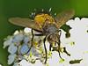Tachinid fly, <em>Protodejeania</em> sp.? Coastal Trail, Golden Gate National Recreation Area, Marin Co., CA 2012/06/05 &#9664 Solanaceae ----- Valerianaceae &#9658