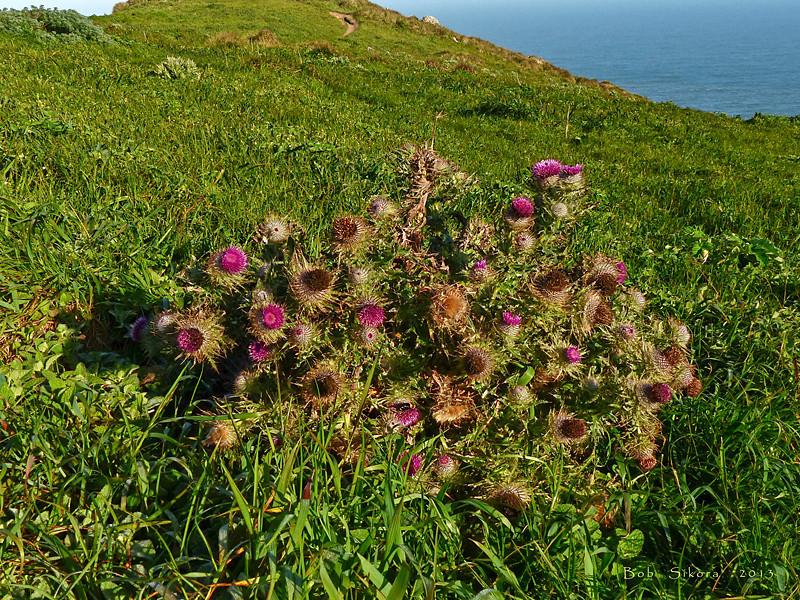 <em>Cirsium andrewsii</em>, Franciscan Thistle, native.  <em>Asteraceae</em> (= <em>Compositae</em>, Sunflower family). Point Reyes, Point Reyes National Seashore, Marin Co., CA, 2013/04/10,  jm2p284