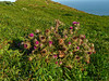 <em>Cirsium andrewsii</em>, Franciscan Thistle, native.  <em>Asteraceae</em> (= <em>Compositae</em>, Sunflower family). Point Reyes, Point Reyes National Seashore, Marin Co., CA, 2013/04/10,  jm2p284