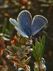 <em>Plebejus icarioides</em> ssp?, Boisduval's Blue <em>Polygonum paronychia</em>, Beach Knotweed Abbotts Lagoon, Point Reyes National Seashore, Marin Co., CA, 2015/05/10, jm2p1120