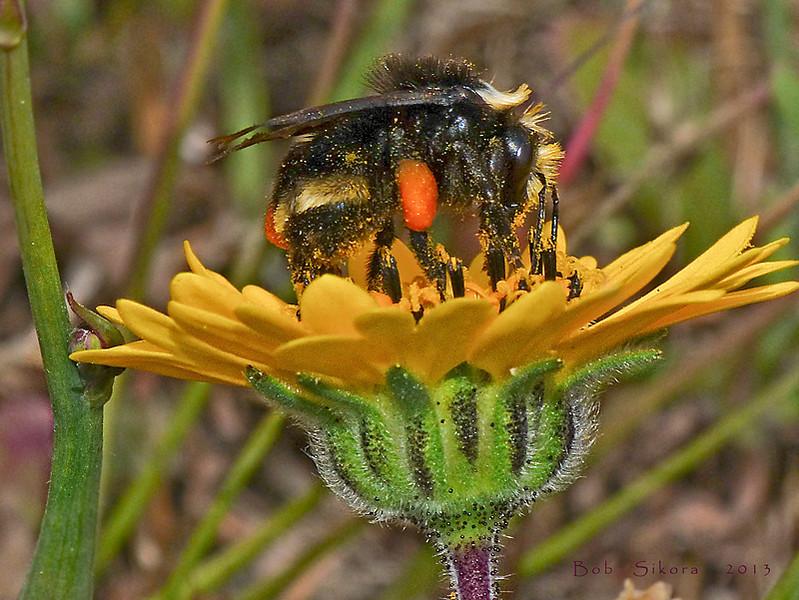 "<em>Hemizonia congesta ssp. lutescens</em>, Hayfield Tar Plant, native.  <em>Asteraceae</em> (= <em>Compositae</em>, Sunflower family). ""G"" Ranch; Abbotts Lagoon, Point Reyes National Seashore, Marin Co., CA, 2013/05/15, jm2p347"