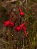 <em>Delphinium nudicaule</em>, Red or Canyon Larkspur, native.  <em>Ranunculaceae</em> (Buttercup family). Lucas Valley Road, Marin County, CA, 2013/04/24, jm2p1140.