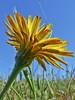<em>Hypochaeris radicata</em>, Rough or Hairy Cat's Ear, Europe.  <em>Asteraceae</em> (= <em>Compositae</em>, Sunflower family). Tomales Bay Trail, Point Reyes National Seashore, Marin Co., CA, 2013/05/03, jm2p358