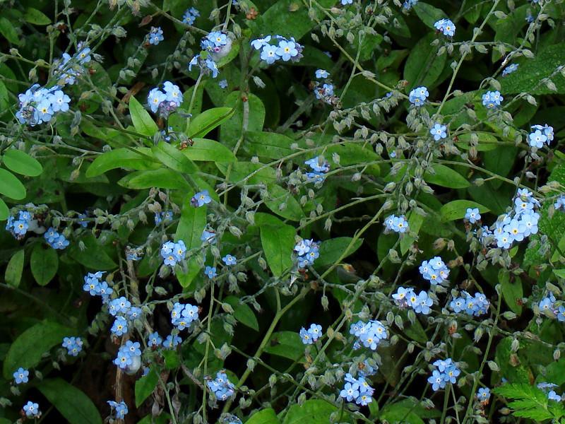 <em>Myosotis scorpioides?</em> Forget-me-not, Europe.  <em>Boraginaceae</em> (Borage family). Bixby Mtn., Point Sur, Monterey Co., CA  6/15/09 jm2p480