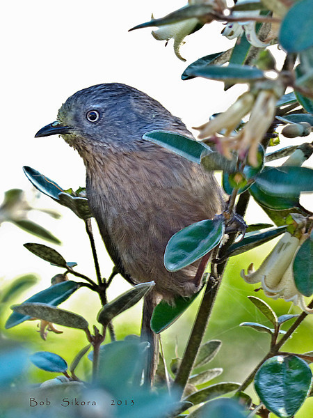 Wrentit, <em>Chamaea fasciata</em> Coastal Trail, Golden Gate National Recreation Area, Marin Co., CA   2013/01/28
