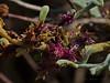 <em>Ambrosia chamissonis</em>, Beach Bur, native.  <em>Asteraceae</em> (= <em>Compositae</em>, Sunflower family). Ocean Beach, San Diego, San Diego Co., CA, 2013/08/06, jm2p239