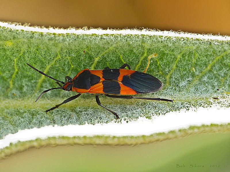 Large Milkweed Bug, <em>Oncopeltus fasciatus</em> Nacimiento-Fergison Rd., Santa Lucia Mountains, Monterey Co., CA  2012/08/03