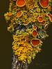 <em>Xanthoria hasseana</em>, Poplar Sunburst Lichen Olompali State Park, Marin Co., CA, 2014/02/15