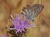 <em>Monardella villosa ssp. villosa</em>, Coyote Mint <em>Plebejus acmon</em>, Acmon Blue, f. Edgewood County Park, San Mateo Co., CA, 2014/06/01