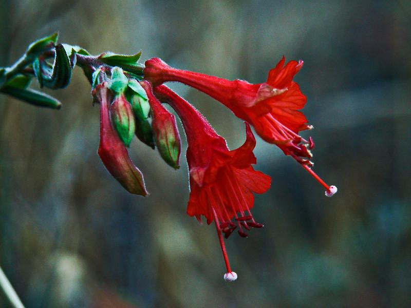 <em> Epilobium canum</em>, California Fuschia, native. <em> Onagraceae</em> (Evening Primrose family). Palo Colorado Road, Los Padres National Forest, Monterey Co., CA  9/25/09  jm2p942