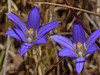 <em>Brodiaea elegans</em>, Elegant brodiaea, native.  <em>Themidaceae</em> (Brodiaea family). Millerton Point, Tomales Bay State Park, Marin Co., CA, 2013/06/22, jm2p1510