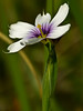 <em>Sisyrinchium bellum</em>, Blue-eyed Grass, native.  <em>Iridaceae</em> (Iris family). Rodeo Valley Trail, Golden Gate National Recreation Area, Marin Co., CA  jm2p1360