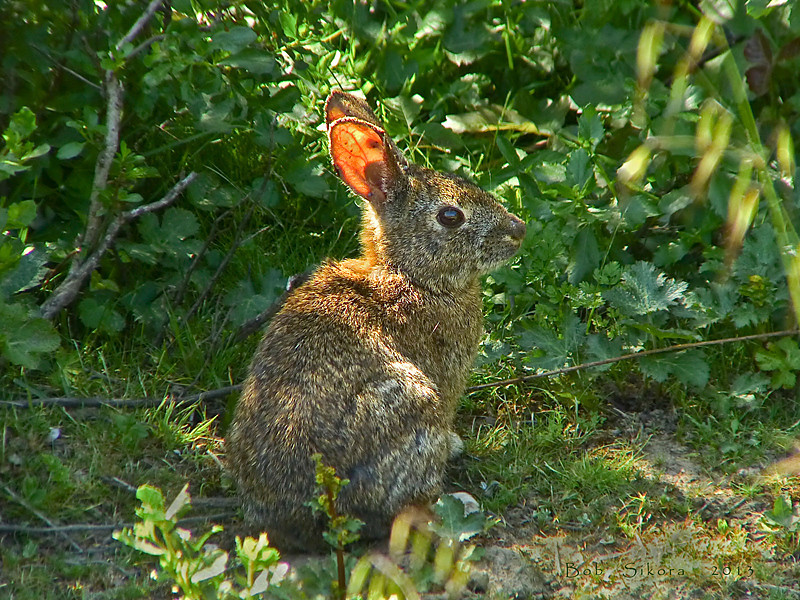Brush Rabbit, <em>Sylvilagus bachmani</em> Tomales Bay Trail, Point Reyes National Seashore, Marin Co., CA, 2013/05/03