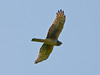 Northern Harrier, <em>Circus cyaneus</em>, f. Tomales Point, Point Reyes National Seashore, Marin Co., CA 3/2/2012
