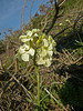 <em>Erysimum franciscanum</em>, Franciscan Wallflower, native.  <em>Brassicaceae</em> (=<em>Cruciferae</em>, Mustard family). Tomales Point, Point Reyes National Seashore, Marin Co., CA 3/2/2012 jm2p548