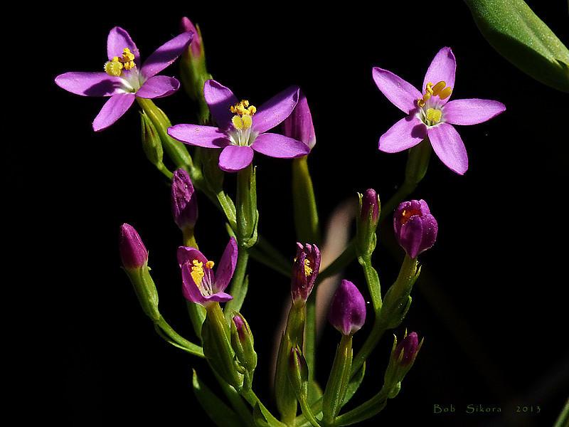 <em>Centaurium tenuiflorum</em>, Slender Centaury, Eurasia.  <em>Gentianaceae</em> (Gentian family). Millerton Point, Tomales Bay State Park, Marin Co., CA, 2013/06/22, jm2p812