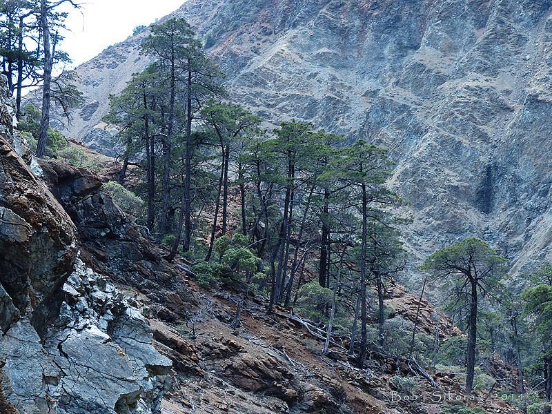 <em>Hesperocyparis sargentii</em>, Sargent cypress, native.  <em>Cupressaceae</em> (Cypress family). The Cedars, Sonoma Co., CA, 1014/04/27, jm2p138.