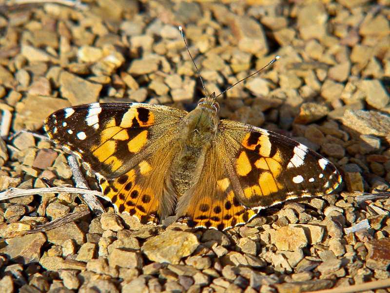 Painted Lady, <em>Vanessa cardui</em> Los Padres National Forest, Monterey Co., CA  3/28/10 This individual and the closely related West Coast Lady shown in the prior picture were the only two people flying about late in the day early in a cold spring.  Yet the two of them were vying over the same 20 meters of hilltop fireroad, chasing each other back and forth for hours.