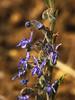 <em>Trichostema lanceolatum</em>, Vinegar Weed, native. <em>Lamiaceae</em> (=<em>Labiatae</em>, Mint family)  Nacimiento-Fergusson Rd., Los Padres NF, Monterey Co., CA 9/25/09  jm2p860
