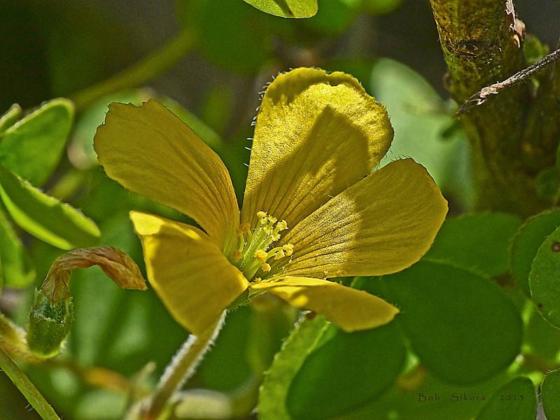 <em>Oxalis californica (Oxalis albicans ssp. pilosa)</em>,  Hairy Woodsorrell, native.  <em>Oxalidaceae</em>, (Oxalis family). Coastal Trail n. of Muir Beach,Golden Gate National Recreation Area, Marin Co., CA, 2013/01/28, jm2p977