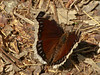 Mourning Cloak, <em>Nymphalis antiopa</em> Kirby Cove, Golden Gate National Recreation Area, Marin Co., CA 2012/04/07