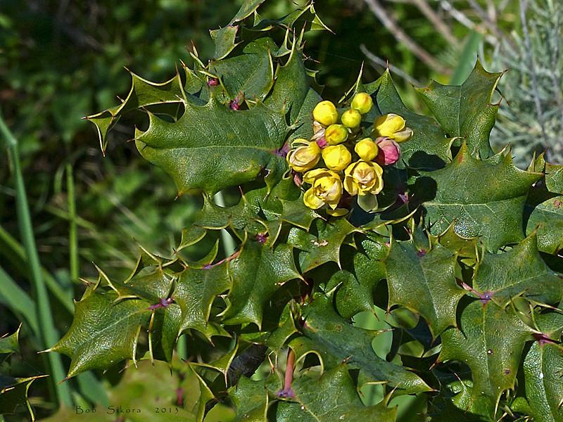 <em>Berberis pinnata ssp. pinnata</em>, Oregan Grape, native.  <em>Berberidaceae</em> (Barberry family). Gull Rock footpath, Mt. Tamalpais State Park, Marin Co., CA,  2013/02/25, jm2p447