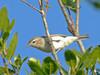 Warbling Vireo<br /> Silver Peak Wilderness, Los Padres NF, Monterey Co., CA 6/16/09