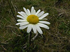 <em>Leucanthemum vulgare</em>, Ox-eye Daisy, Europe.  <em>Asteraceae</em> (= <em>Compositae</em>, Sunflower family). Point Reyes National Seashore, Marin Co., CA 1/31/12 jm2p377