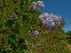 <em>Ceanothus thyrsiflorus var. thyrsiflorus</em>, Blue-blossom, native.  <em>Rhamnaceae</em> (Buckthorn family). Fire Lane Trail, Point Reyes National Seashore, Marin Co., CA 2012/03/09  jm2p1162