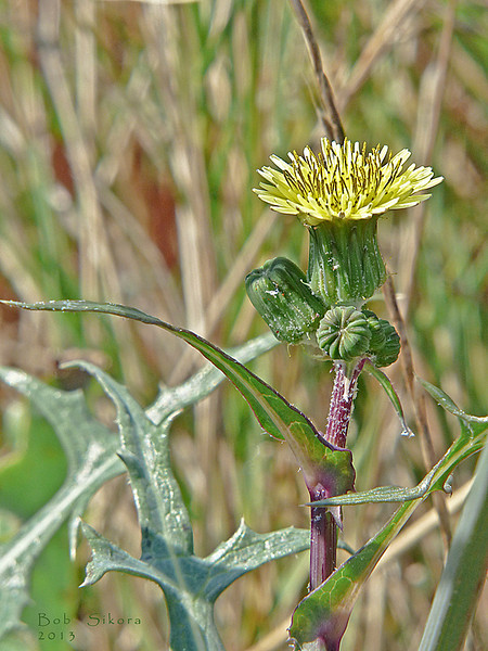 <em>Sonchus oleraceus</em>, Sow Thistle, Europe.<em>Asteraceae</em> (= <em>Compositae</em>, Sunflower family). Millerton Point, Tomales Bay State Park, Marin Co., CA, 2013/07/19, jm2p423
