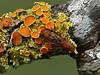 <em>Xanthoria  hasseana</em>, Poplar Sunburst Lichen <em>Suillia sp., S. convergens?</em>, fungus fly Olompali State Park, Marin Co., CA, 2014/02/15