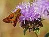 <em>Monardella villosa ssp. villosa</em>, Coyote Mint Ochlodes agricola, Farmer, Rural Skipper, m. Edgewood County Park, San Mateo Co., CA, 2014/06/01