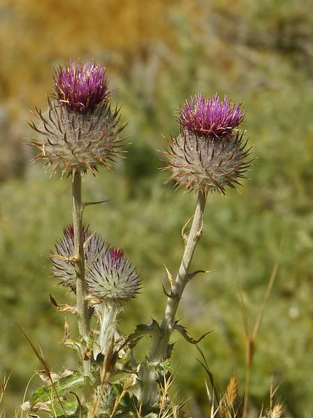 <em>Cirsium occidentale var. venustum</em>, Venus Thistle, native.  <em>Asteraceae</em> (= <em>Compositae</em>, Sunflower family). Point Bonita, Golden Gate National Recreation Area, Marin Co., CA  2012/06/11  jm2p288