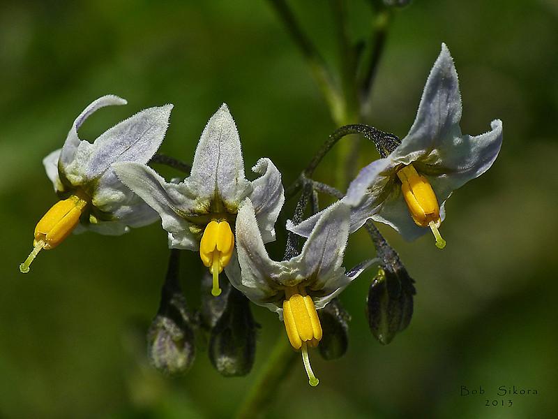 <em>Solanum furcatum</em>, Forked Nightshade, S. America.  <em>Solonaceae</em> (Nightshade family). San Bruno Mountain, San Mateo County, CA,   2013/03/10,  jm2p1256