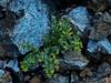 <em>Galium californicum</em>, California Bedstraw, native.  <em>Rubiaceae</em> (Madder or Bedstraw family). The Cedars, Sonoma Co., CA, 2014/04/27, jm2p1211