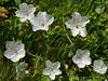 <em>Nemophila menziesii var. atomaria</em>, Baby Blue-eyes, native.  <em>Boraginaceae</em> (Borage family), [ex <em>Hydrophyllaceae</em>]. Tomales Point, Point Reyes National Seashore, Marin Co., CA 2012/04/27  jm2p482