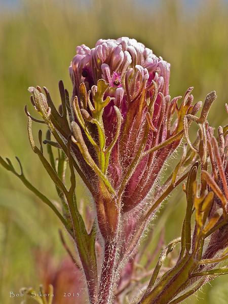 <em>Castilleja exserta spp. exserta</em>, Purple Owl's Clover, native.  <em>Orobanchaceae</em> (Broomrape family). Abbotts Lagoon, Point Reyes National Seashore, Marin Co., CA, 2013/04/17, jm2p960.