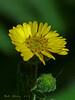 <em>Anisocarpus madioides</em>, Woodland Madia, native.  <em>Asteraceae</em> (= <em>Compositae</em>, Sunflower family). Samuel P. Taylor State Park, Marin Co., CA,  2013/05/12,  jm2p242