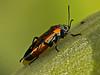 Small Milkweed Bug, <em>Lygaeus kalmii</em> Nacimiento-Fergison Rd., Santa Lucia Mountains, Monterey Co., CA  2012/08/03