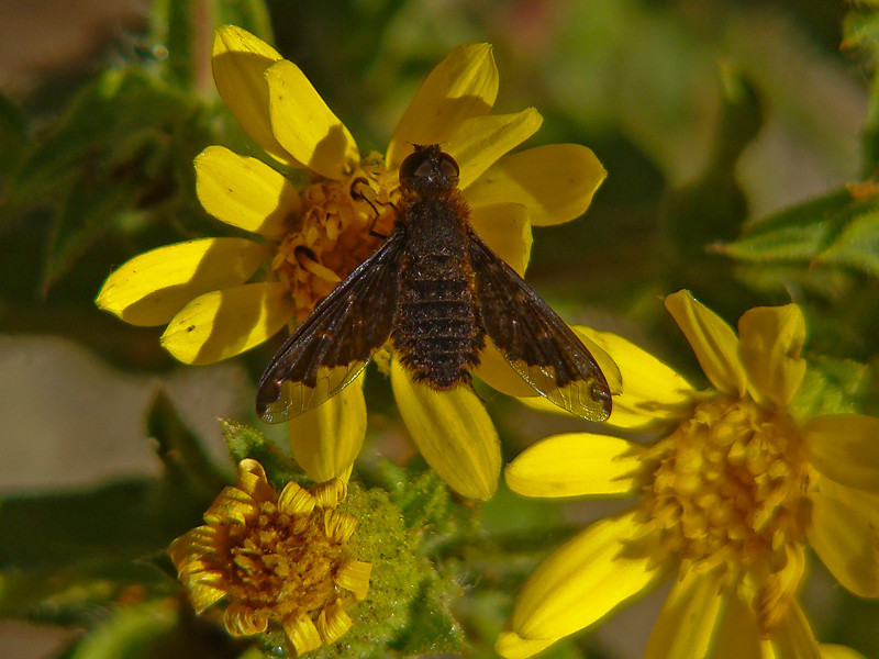 Sinuous Bee Fly, <em>Hemipenthes sinuosa</em> Palo Colorado Road, Los Padres National Forest, Monterey Co., CA  9-25-09