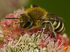 Bee, <em>Colletes</em> sp.? on <em>Eriogonum latifolium</em>, Coast Buckwheat, native.  <em>Polygonaceae</em> (Buckwheat family). Baker Beach, Coastal Trail, Presidio, Golden Gate National Recreation Area, San Francisco, CA  2012/05/21  jm2p1100