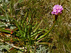 <em>Armeria californica ssp. californica</em>, Sea Pink, native.  <em>Plumbaginaceae</em> (Leadwort family). Tomales Point, Point Reyes National Seashore, Marin Co., CA 2012/04/27  jm2p1035