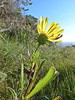 <em>Grindelia stricta var. stricta</em>, Oregon Gumweed, native.  <em>Asteraceae</em> (= <em>Compositae</em>, Sunflower family). Rocky Point, Mt. Tamalpais State Park, Marin Co., CA, 2013/02/25, jm2p337
