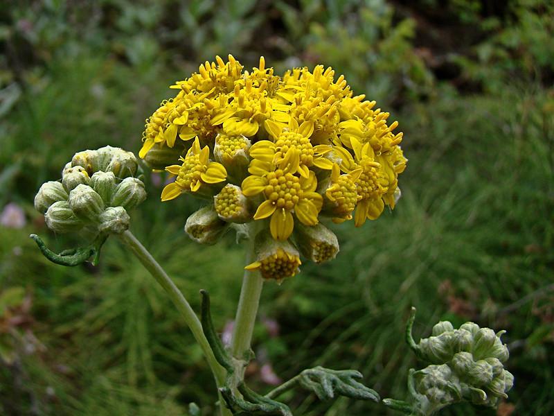 <em>Eriophyllum staechadifolium</em>, Seaside Wooly Sunflower,  native.  <em>Asteraceae</em> (= <em>Compositae</em>, Sunflower family).  Bixby Mtn., Point Sur, Monterey Co., CA  6/15/09  jm2p325