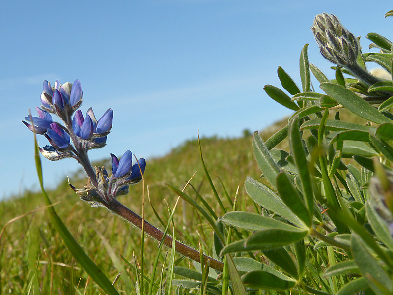 <em>Lupinus bicolor</em>, Miniature Lupine, native.  <em>Fabaceae</em> (=<em>Leguminosae</em>, Legume family). Tomales Point, Point Reyes National Seashore, Marin Co., CA 3/2/2012 jm2p770