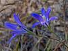<em>Brodiaea elegans ssp. elegans</em>, Harvest Brodiaea, native.   <em>Themidaceae</em> (Brodiaea family). Edgewood County Park, San Mateo Co., CA, 06/01/2014, jm2p1510
