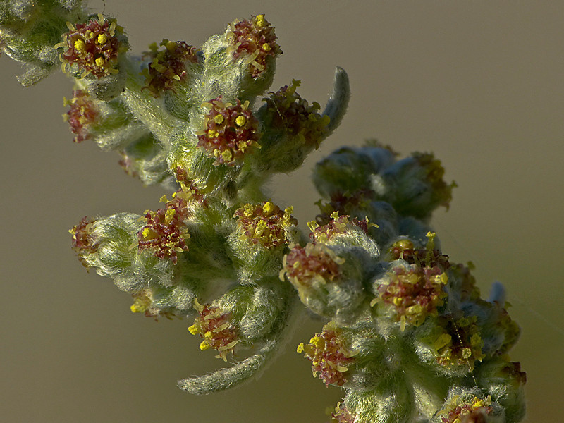 <em>Artemisia pycnocephala</em>, Beach Sagebrush, native.  <em>Asteraceae</em> (= <em>Compositae</em>, Sunflower family). Keyhoe Beach, Point Reyes National Seashore, Marin Co., CA 12/22/2011 jm2p252